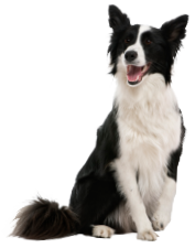 traits collie
