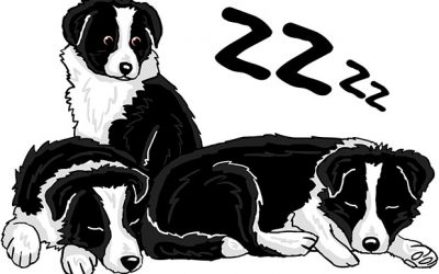 Buy a Border Collie – Guide, tips and suggestions